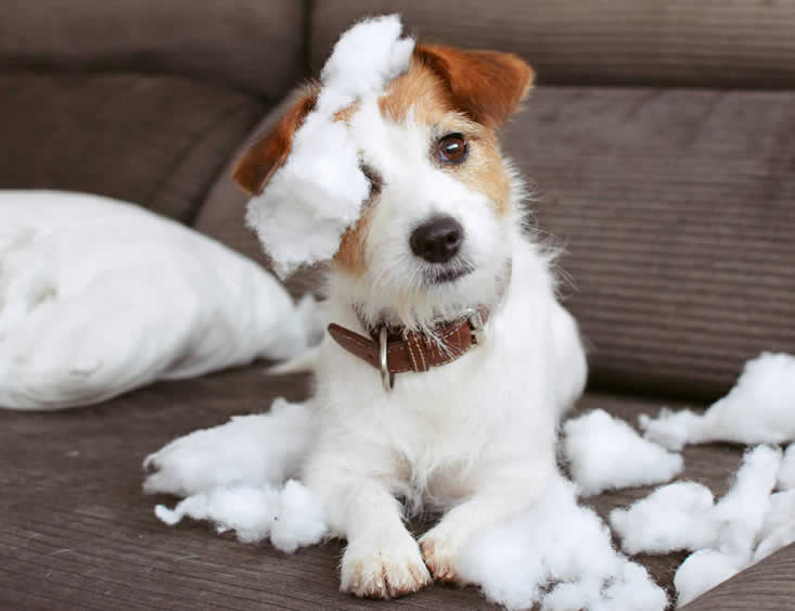 naughty jack russell